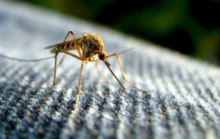 zanzara - chikungunja
